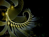 Macrocystis pyrifera, Giant Kelp
