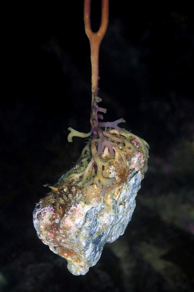 """Macrocystis pyrifera holdfast, on """"floating"""" rock i.e. kelp attached to this rock and started growing, however as the plant grew larger and its buoyancy increased, both plant and rock were lifted off the ocean floor. <br /> Catalina Island, California"""