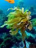 Eisenia arborea, Southern Sea Palm