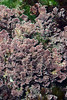 Algae: Serraticardia macmillanii (?).  This algae carpeted the giant stones of the break wall.<br /> Break Wall, King Harbor, Redondo Beach, California