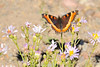 Milbert's Tortoiseshell (Aglais milberti), also known as the Fire-rim Tortoiseshell, is the only species of Aglais that occurs in North America.  It is on a Douglas Aster (Symphyotrichum subspicatum).