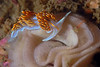 Hermissenda crassicornis; Horned Aeolid on egg coil of Doriopsilla albopunctata <br /> Point Loma, California