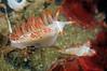 Flabellina trilineata (previously Coryphella trilineata)..<br /> T-Pier, Morro Bay, California