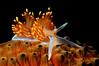 Hermissenda crassicornis, Horned Aeolid, on sea cucumber<br /> El Segundo, California