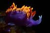 Flabellina iodinea, illuminated with strobe snoot.<br /> Redondo Barge, Palos Verdes, California.