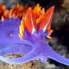 Flabellina iodinea, Spanish Shawl<br /> Anacapa Island, California