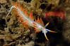 Flabellina trilineata<br /> Morro Bay, California