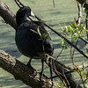 Coot in a tree