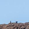 Black vultures over eagles
