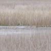 Solitary Snowy Egret