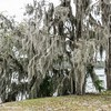 Spanish moss-covered trees