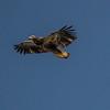 Soaring Golden Eagle