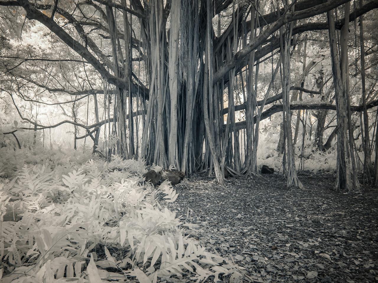 Banyan Tree, Maui