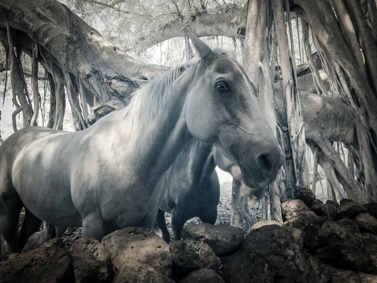 Horse, Maui