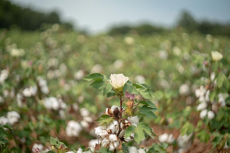 A cotton flower in a cotton field.