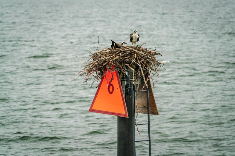 Osprey nest on a marker.