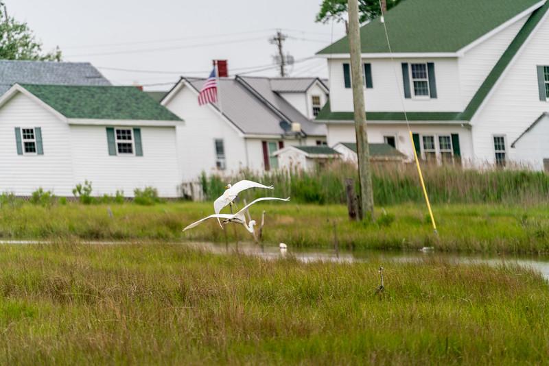 Snowy Egrets in flight.