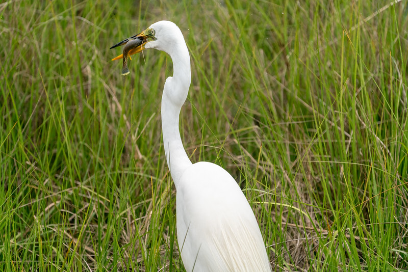 We got lucky and got to watch this Snowy Egret hunting for some lunch up close. He's got a sharp eye and is fast!