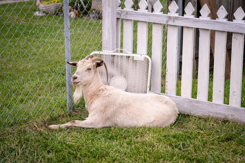 Just a goat chillin' in front of a fan.