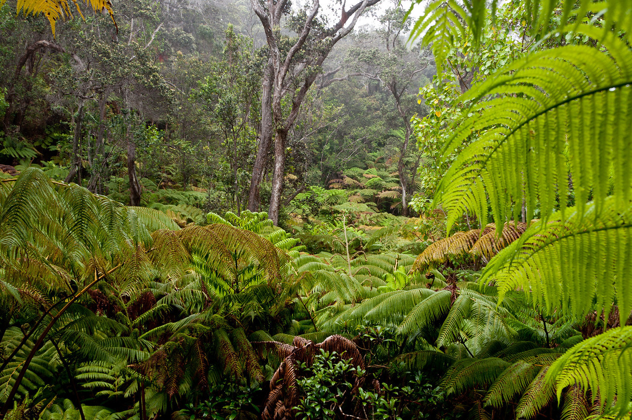 Fern forest on the walk to the Lava Tube.