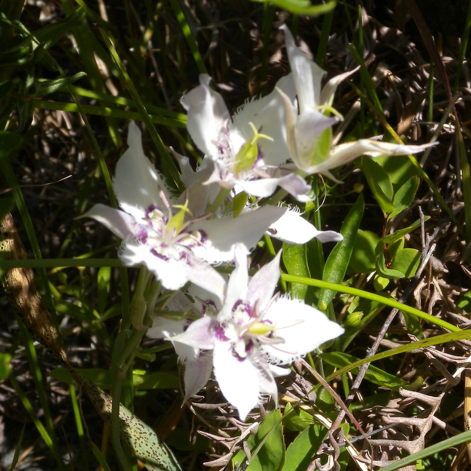 Lyall's Mariposa Lily cluster