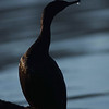 Double-Crested Cormorant, Sausalito, California, U.S.A.