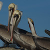Brown Pelicans, Sausalito, California, U.S.A.