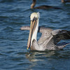 Brown Pelican, Sausalito, California, U.S.A.