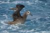 Black-footed albatross,