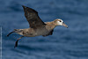 Black-footed albatross,