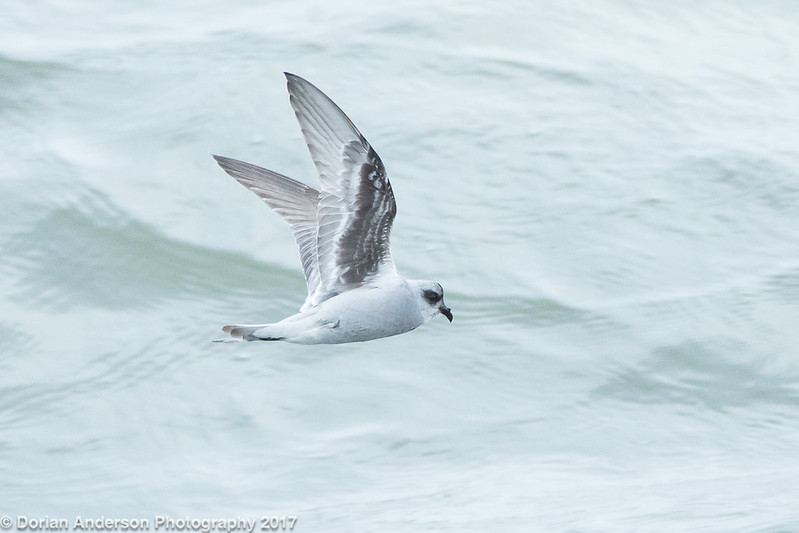 Fork-tailed Storm-petrel (2 in series of 2)