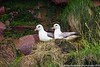 Northern Fulmars on nest