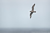 Northern Fulmar (dark phase)