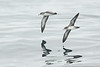 Pink-footed Shearwaters