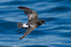 Wilson's storm-petrel, ~ 10 miles southeast of Chatham, Massachusetts, 6/24/12<br /> Canon 400mm f/5.6 on EOS 1D Mark IV<br /> 1/2000 at f/8, ISO 400