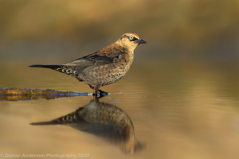 Rusty Blackbird (1 in collection of 9)