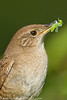 House wren, Boston Fens, Boston, Massachusetts, 6/25/11<br /> Canon 500mm f/4 + 1.4x on EOS 7D<br /> 1/1250 at f/7.1, ISO 400