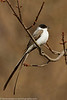 Fork-tailed Flycatcher (!)