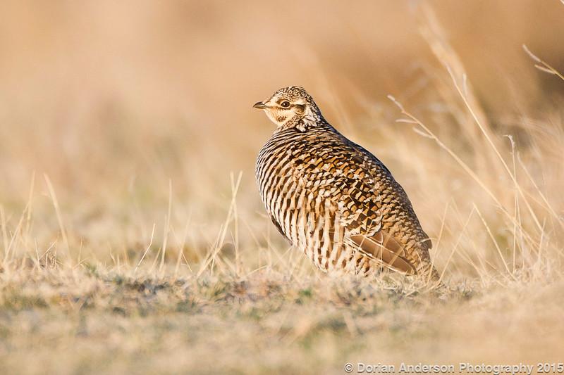 Greater Prairie-chicken female