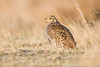 Greater Prairie-chicken female