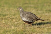 Greater Sage-Grouse hen