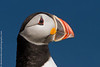 Atlantic Puffin