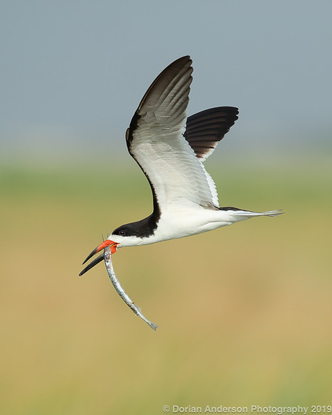 Black Skimmer with Needlefish