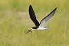 Black Skimmer - with needlefish