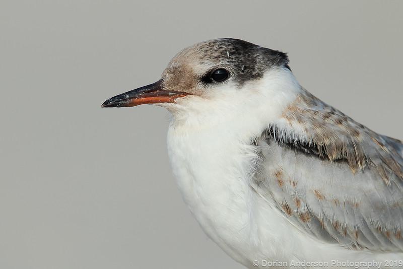 Common Tern - Fledgling