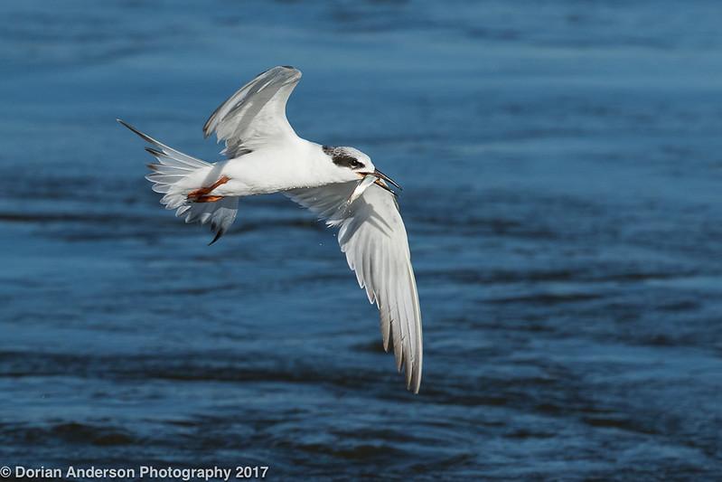 Forster's Tern - juvenile