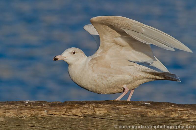 Glaucous gull, Gloucester, Massachusetts, 2/4/12<br /> Canon 400mm f/5.6 on EOS 7D<br /> 1/3200 at f/7.1, ISO 200