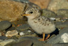Least tern chick, Winthrop, Massachusetts, 7/1212<br /> Canon 500mm f/4 + 1.4x on EOS 1D Mark IV<br /> 1/2000 at f/8, ISO 400