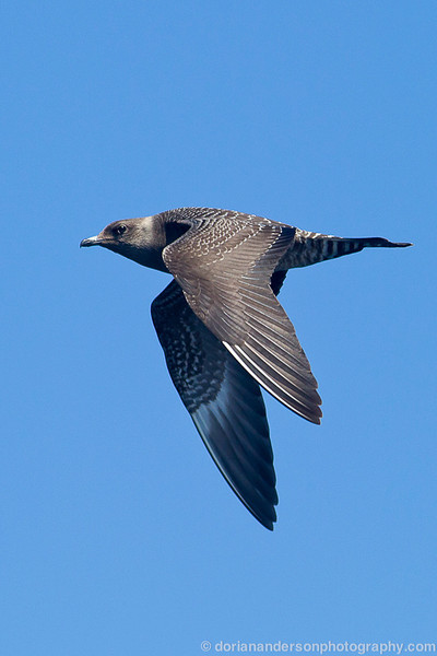 Long-tailed Jaeger,