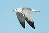 Ring-billed Gull (2nd winter)